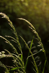 Grass (laurabaay) Tags: flowers flower nature floral grass closeup botanical flora botanic greenbackground