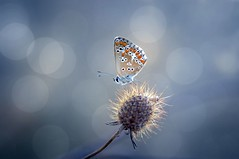Polyommatus icarus (Ignazio Corda) Tags: colors butterfly liberty farfalla justnature nikond300 natureselegantshots beautifulmonsters photobyigcor
