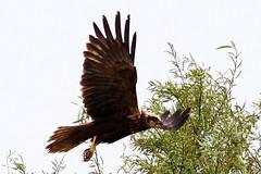 Marsh Harrier(Juv.)Stodmarsh.17.6.2013. (Tom Webzell) Tags: nature lens through naturethroughthelens