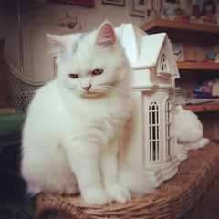 Mali & White Castle.  #cat #persia  #white  #cute  #kitten (little dolls room) Tags: square squareformat rise kittyschoice catmoments iphoneography instagramapp uploaded:by=instagram