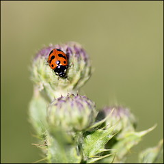Ladybird on thistle (catb -) Tags: ireland macro bug insect ladybird ladybug waterford fa