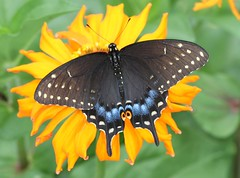 Black Swallowtail (DrPhotoMoto) Tags: blue red orange butterfly northcarolina pupil swallowtail blackswallowtail richmondcounty papiliopolyxenes eyespot