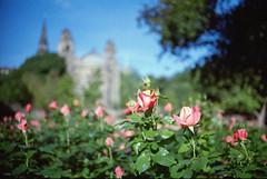 (*setsuna) Tags: uk flower film rose scotland edinburgh kodak bokeh f3 nion colorplus200