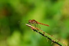 John Baldwin Hide.  Brandon Marsh. 9th Aug 2013. A83_8022 (Imagine Bill) Tags: dragonfly brandonmarsh brandonmarshnaturereserve johnbaldwinhide