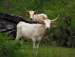 Junkyard Cows (Woolmarket100) Tags: cattle cows coolpix junkyard woodscows