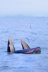 Bryde's whale in Gulf of Thailand (noomplayboy) Tags: sea fish birds thailand gulf seagull thai whale gulfofthailand brydeswhale brydes