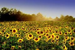 all need sun (mujepa) Tags: summer france flower nature fleur field yellow landscape sunflower t paysage lorraine tournesol champ chambley mygearandme mygearandmepremium