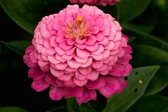 IMG_8096 (Lightcatcher66) Tags: florafauna makros blütenundpflanzen lightcatcher66