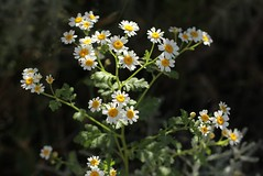 Feverfew (Evenweirderfish) Tags: uk reading asteraceae feverfew tanacetumparthenium