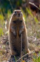 Ground Squirrel (hectic skeptic) Tags: coyote rabbit bunny alaska fauna reindeer eagle hawk baldeagle salmon moose fox otter puffin whale sealions magpie ptarmigan blackbear goldeneagle groundsquirrel sandhillcrane redfox carribou trumpeterswan sprucegrouse merganserduck markamorgan