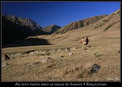 Au petit matin dans la vallée de Shamsy (HimalAnda) Tags: mountain montagne trek cow valley vache vallée kirghizistan kirghizstan kirghizie stéphanebon