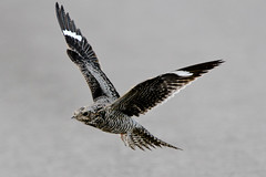 Common Nighthawk (Alan Gutsell) Tags: bird nature photo nationalpark wildlife migration ponds nighthawk commonnighthawk texasbirds birdsoftexas alangutsell anahaucnwr
