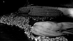 Corn harvest 2013 (swami227) Tags: tractor corn farming grain harvest case combine ag agriculture ih