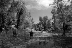 Louisiana- Back Roads & City Streets-84 (wmkaramjr) Tags: la moss louisiana gators bayou cajun cypresstrees alligators acadiana lakemartin henederson