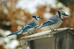 Ice Storm (BottleofJo) Tags: winter snow storm ice nature weather birds animals dallas wildlife