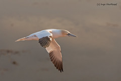 Basstlpel, ins Abendlicht fliegend (hardi_630) Tags: sonnenuntergang nordsee helgoland morusbassanus frhjahr abendlicht basstlpel beute heligoland
