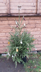 Allotment Christmas tree (rowchester) Tags: christmas tree canon cone shed powershot cotton fir string allotment jute bridgecamera sx40 driedorangeslices dogwoodtwigs sx40hs