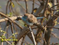 Blue Waxbill, Blue-breasted Cordonbleu, Southern Cordonbleu,   Uraeginthus angolensis niassensis, (Graham Ekins) Tags: southafrica krugernationalpark limpopo passerine canon30d bluewaxbill img5681 bluebreastedcordonbleu southerncordonbleu grahamekins canon100400isaf uraeginthusangolensisniassensis parfurigate