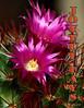 joyful (vitofonte) Tags: cactus naturaleza holiday flower nature natureza flor joy natura vacaciones alegría vitofonte vigilantphotographersunite vpu2 vpu3 vpu4 vpu5 vpu6 vpu7 vpu8 vpu9 vpu10