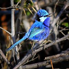 The Splendid Fairywren (Malurus splendens) (beninfreo) Tags: blue wren margaretriver dunsborough splendid capenaturaliste fairywren splendens bluewren malurus splendidfairywren sugarloafrock canon5d3
