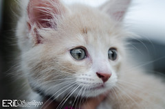 Kitten Photoshoot (Eric Andrew Photography) Tags: cats pets white cute animals cat eyes feline kitty kittens meow pur bestofcats impressedbeauty