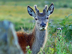 Young Stag in Velvet, Ulva Ferry - Mike Hogan
