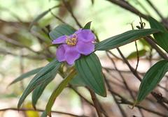 Native Lassiandra (igomak) Tags: brisbane shrub purpleflowers melastomataceae stluciacampus melastomamalabathricumsubspmalabathricum nativelassiandra