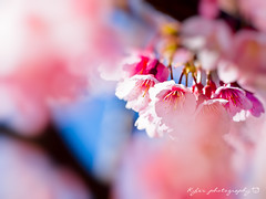 () Tags: park travel pink flowers trees light sky white plant flower macro tree castle nature japan garden cherry spring blossom bokeh blossoms taiwan sigma olympus apo  cherryblossom  sakura cherryblossoms    f28 cherrytree e30 cherrytrees     cherryblossomfestival     150mm  sigma150mmf28  150mmf28 macroquot quotsigma sigmamacro150mmf28  sigmaapomacro150mmf28