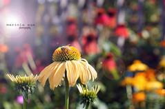 colors of summer ... (mariola aga) Tags: flowers summer closeup garden dof bokeh 50mmf18 cantignypark thegalaxy mygearandme mygearandmepremium mygearandmebronze mygearandmesilver mygearandmegold mygearandmeplatinum mygearandmediamond infinitexposure