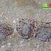 Tiny sand fanworm (Family Sabellidae)
