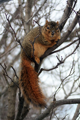 Fox squirrel (Award Photography) Tags: winter ohio animal canon rodent squirrel zoom cleveland xsi sciuridae