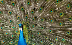 Some are born with glitters in their veins (anonymous) (LubnaJavaid) Tags: blue pakistan color green bird gold feather peacock peafowl islamabad plumage