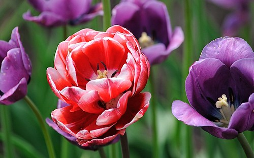 Purple and Red Tulips