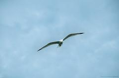 Fly (manouriz) Tags: bird fly larus مرغ michahellis دریایی