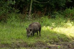20130806#009 - Wild Zwijn.jpg (rrvo) Tags: wild wildzwijn lelystad zwijn zoogdier natuurpark 2013 zwijnzoogdier2013lelystadnatuurparkzwijn