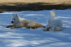 """Chase & Jag Imitating Each Other On A SNOW ROLL  21 • <a style=""""font-size:0.8em;"""" href=""""http://www.flickr.com/photos/96196263@N07/14212327071/"""" target=""""_blank"""">View on Flickr</a>"""