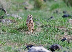 DSC_7420 (Jeff Brough) Tags: lava butte desert idaho owl owls groundsquirrel athenecunicularia rift burrowing greatrift jeffbrough