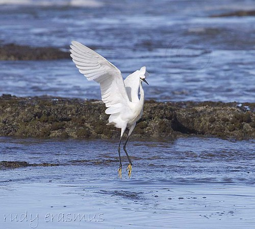 Little  Egret_2332