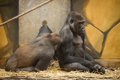 2014-06-09-10h57m05.BL7R0217 (A.J. Haverkamp) Tags: zoo gorilla thenetherlands barney rhenen baloo dierentuin ouwehandsdierenparkrhenen httpwwwouwehandnl canonef100400mmf4556lisusmlens bitanu dob01112003 dob02122004