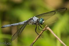 great blue skimmer (explored 7/12/2014) (robert salinas) Tags: georgia unitedstates woodstock