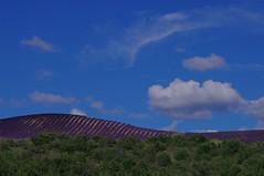 IMGP0992 (MEF2000) Tags: flower fleurs pentax couleurs ciel provence paysage lavande k7 valensole