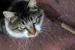fran (grciccolo) Tags: cats gatos ojos miradas