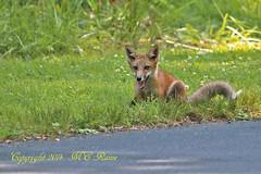 Juvenile Red Tail Fox (2 of 5) at Duke Farms in Hillsborough NJ (takegoro) Tags: nature animals wildlife fox mammals juvenile sanctuary naturepreserve red dukefarms tail nj hillsborough