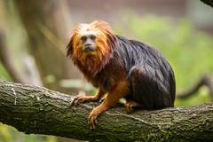 2015-05-12-15h32m17.BL7R1372 (A.J. Haverkamp) Tags: netherlands zoo thenetherlands apenheul apeldoorn dierentuin gelderland goudkopleeuwaapje goldenheadedliontamarin httpwwwapenheulnl canonef100400mmf4556lisusmlens