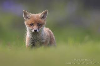 Fox cub - vulpes vulpes - IMG_2866