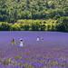 Asian lavender hysteria