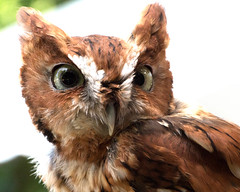 Screech Owl Male (ksblack99) Tags: screech owl male dahlem jackson michigan bird megascopsasio portrait