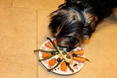 Flo Eating Dinner (@oakhamuk) Tags: flo eating dinner yorkie yorkiepoo puppy dog