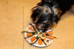 Flo Eating Dinner (@oakhamuk) Tags: flo eating dinner yorkie yorkiepoo puppy dog
