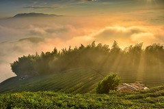 Sunset at Mountain Dalun   (Vincent_Ting) Tags:   teafield  sunset  seaofclouds  fog misty tea    taiwan   clouds tree sky   vincentting   startrails